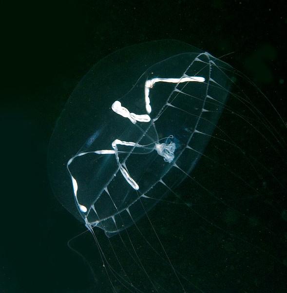 Mitrocomella polydiademata<br /> Barge, Redondo Beach, California