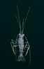 Mysidacean, a shrimp-like crustacean