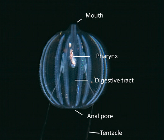 Pleurobrachia bachei - Sea Gooseberry