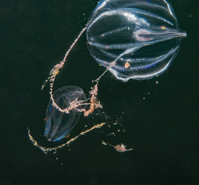 Beroe taking advantage of prey caught in tentacle.