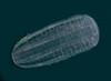 Beroe cucumis