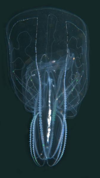 Bolinopsis infundibulum