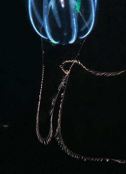 Pleurobrachia sticky tentacles