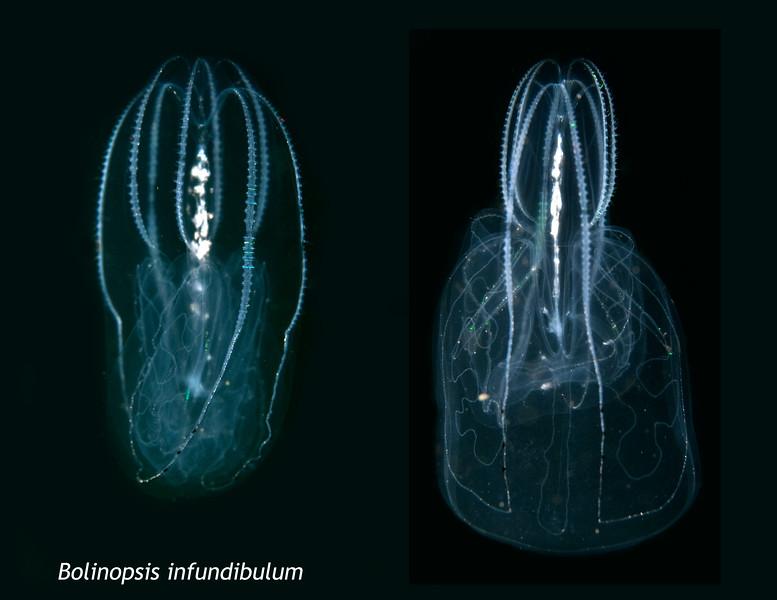 Bolinopsis infundibulum - Lobate ctenophore