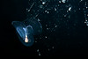 Corolla spectabilis mucous feeding web