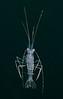 Mysidacean, a shrimp-like crustacean
