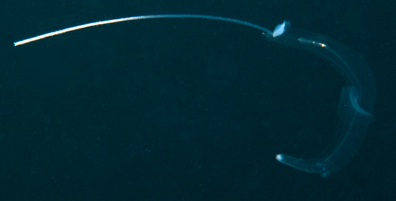 The Heteropod, Firoloida desmaresti