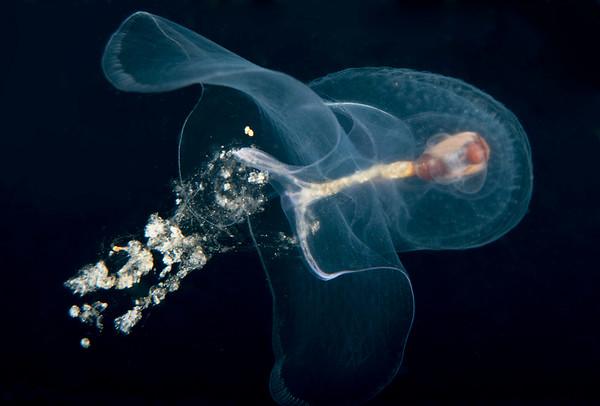 Corolla spectabilis - Sea Butterfly