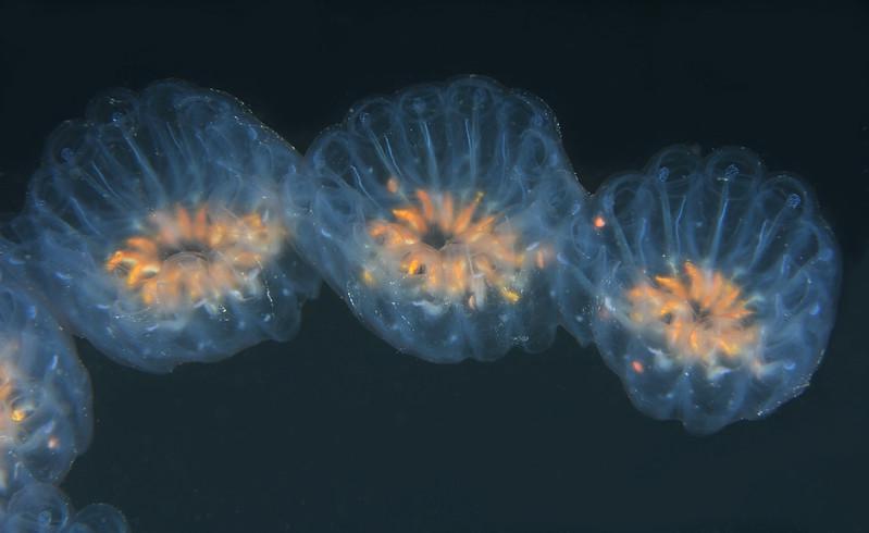 Cyclosalpa affinis, aggregate form