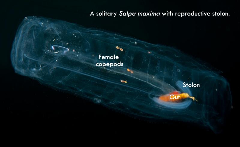 Salpa maxima - solitary generation