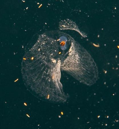 Larvacean