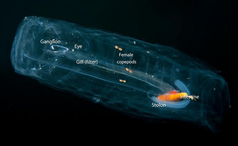Salpa maxima anatomy