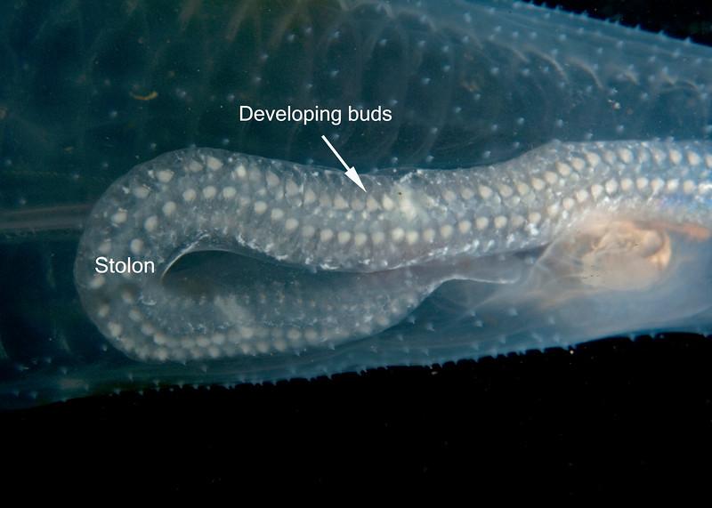 Thetys vagina gonozooids