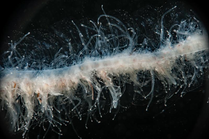 Apolemia uvaria<br /> Golf Ball Reef, Palos Verdes, California