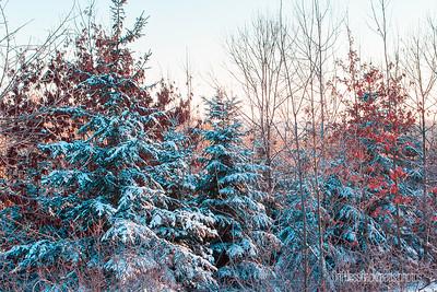 snowy trees lit by winter sun