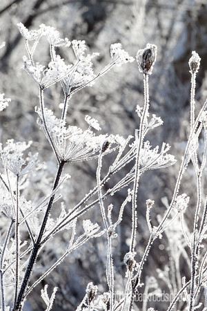 Frosty Queen Anne's Lace