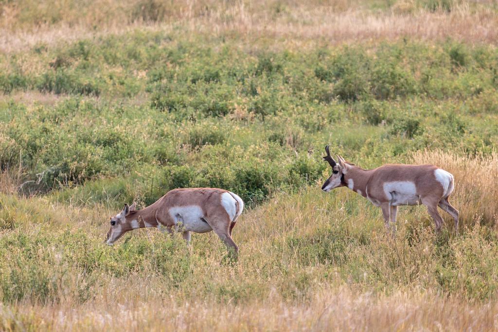 Prairie Antelope
