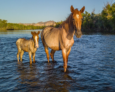 Wild Horses in the Lower Salt River