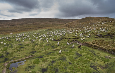 Alpacas in Cotopaxi national park
