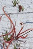 Drosera filiformis, Thread-leaf Sundew; Ocean County, New Jersey 2014-07-12   11