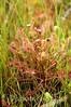 Drosera intermedia, Paddle-leaved Sundew; Ocean County, Progress Place, Jackson, New Jersey 2014-06-25   1