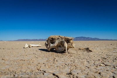 The skull of an animal laying on a dry lake bed