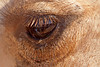 Camel's eye with reflection of people. Check out those lashes!