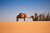 Camel wandering free on the undulating sands of the Arabian Desert.