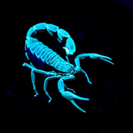 Luminous Scorpion