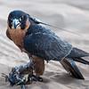 Captive Peregrine Falcon (Falco peregrinus) in the desert hills outside of Dubai City.  Note the GPS tracking device.  Dubai, United Arab Emirates.