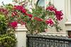 Beaugainvillea flowers in a residential area near Kite Beach, Dubai, UAE, Middle East.