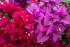 Tropical flowers in Al Barsha, Dubai, UAE, Middle East.
