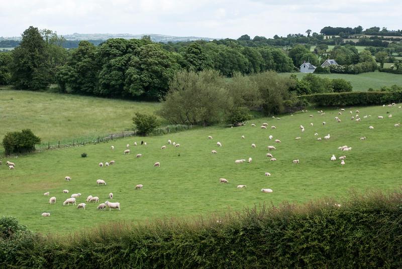 Newgrange sheep