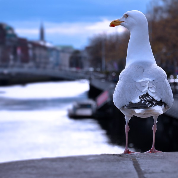 A Seagull on the River Liffey. 2016.