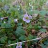 False spring beauty (Cardamine pulcherrima)