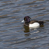 Tufted Duck - Troldand