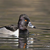 Ring-billed Duck