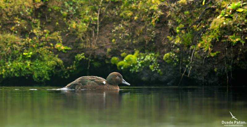 Auckland Island Teal - Male