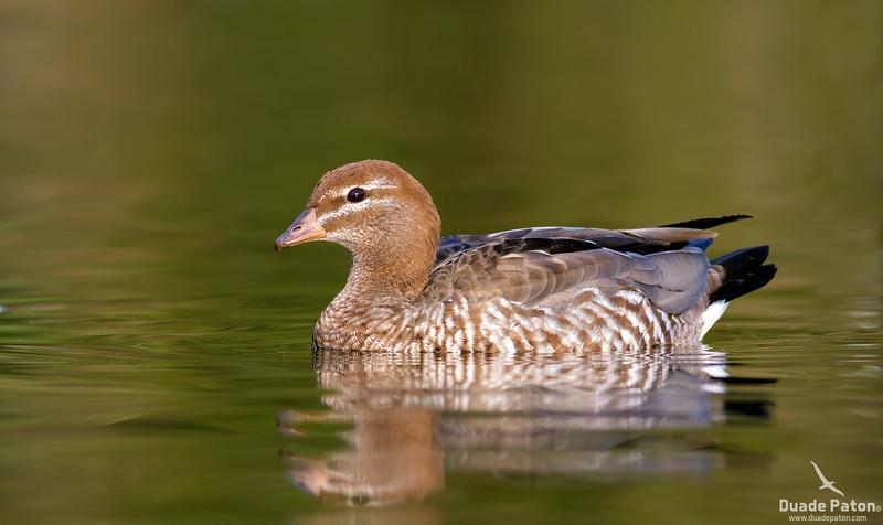 Australian Wood Duck - Female