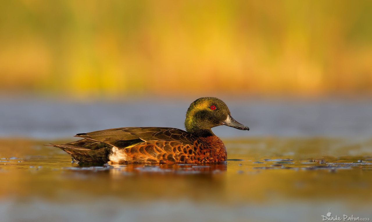 Chestnut Teal Male