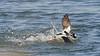 bufflehead ducks, males, scuffling