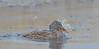 female mallard duck taking a bath