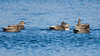 gadwall drakes surround the hen during courtship