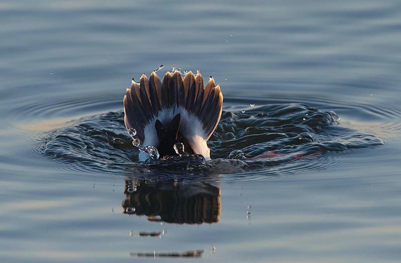 tail of buffelhead duck that dove
