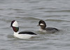 bufflehead duck courtship behavior
