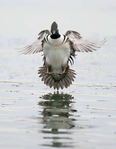 male hooded merganser about to land