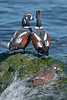 drake & hen harlequin ducks