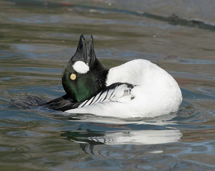 common goldeneye; male's courtship behavior, captive USA