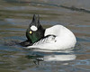 common goldeneye; male's courtship behavior, captive USA