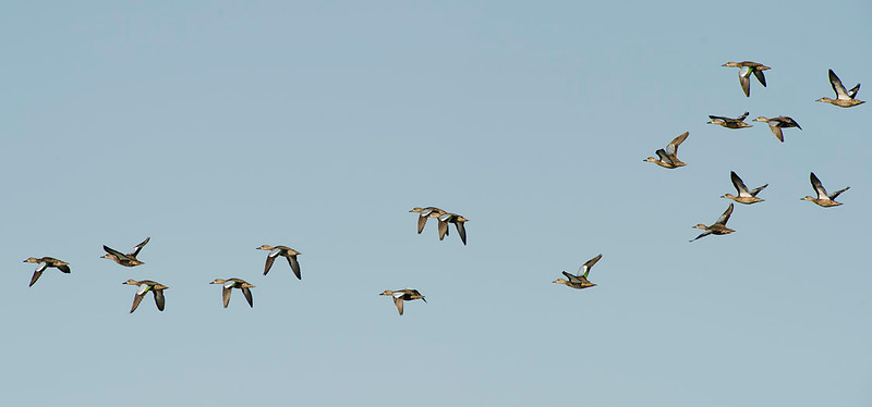 flock of blue wing teal